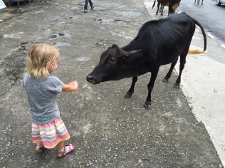 Getting friendly with the street cow