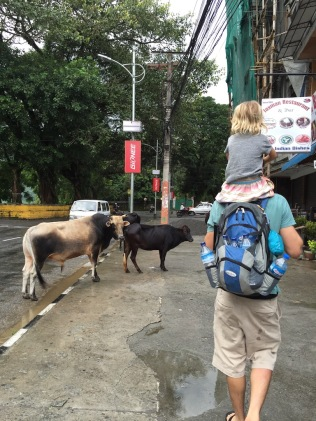 Cows on the street in Pokhara